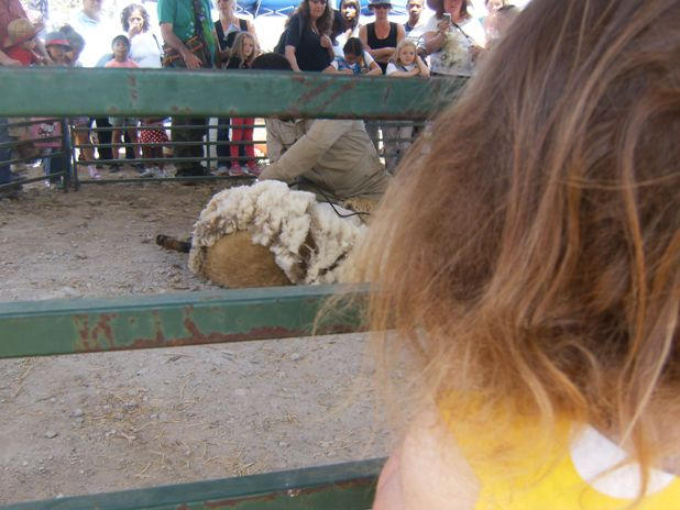 Pierce College Farmwalk - sheep shearing